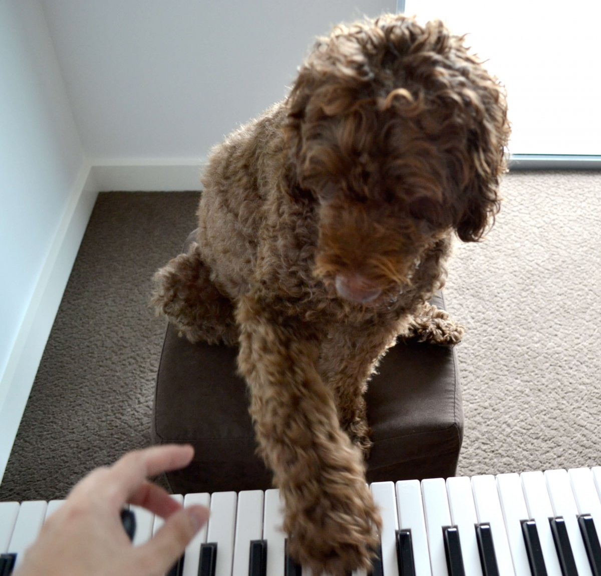 Hugo the dog practicing piano